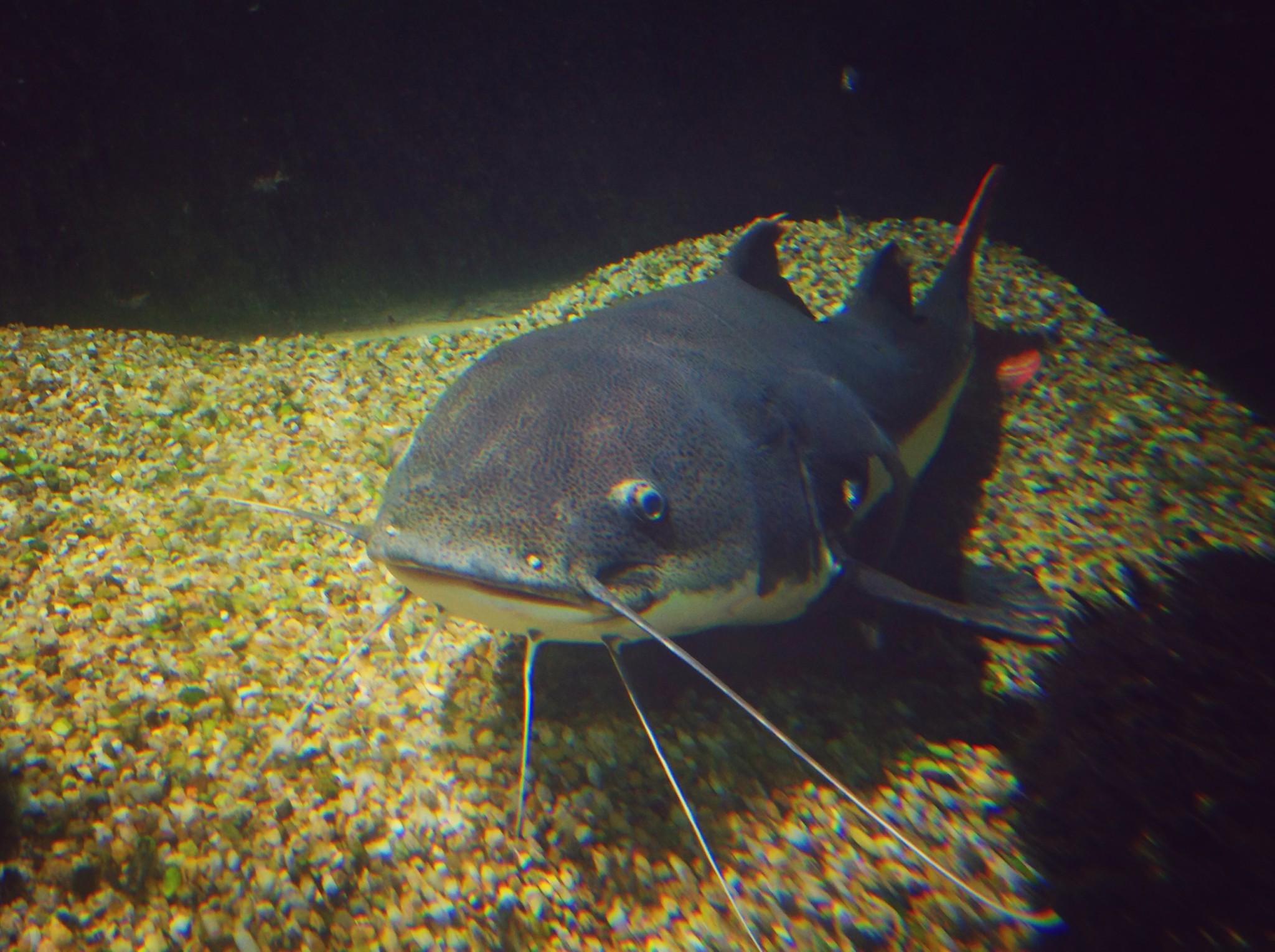 Kırmızı Yüzgeçli Kedi Balığı