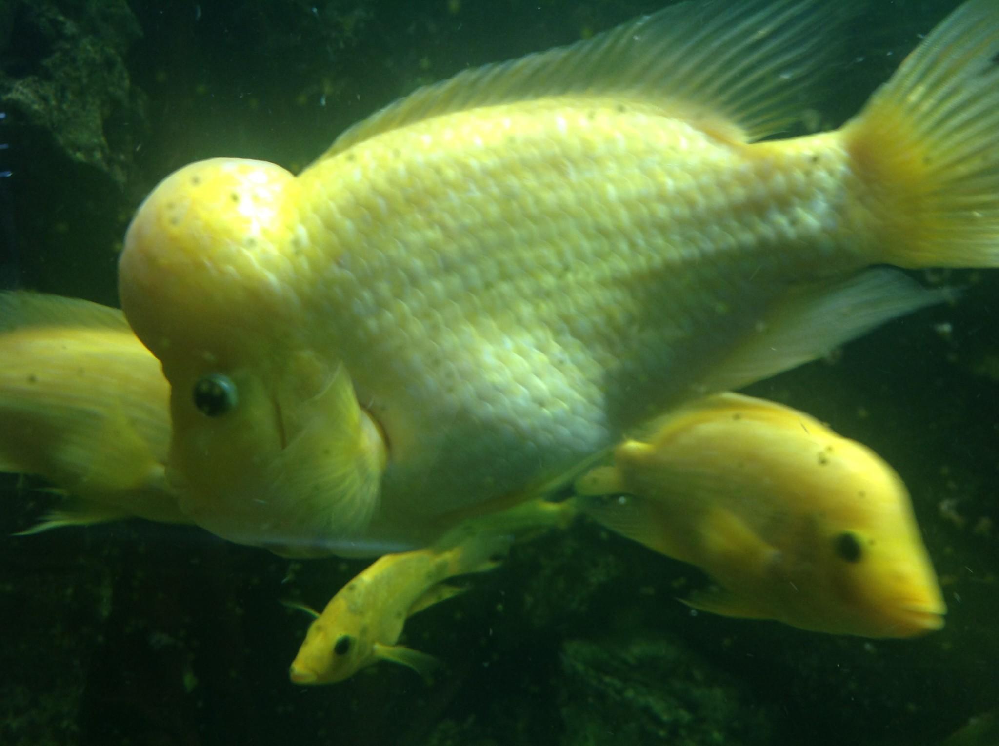 Silikon Dudaklı Balık