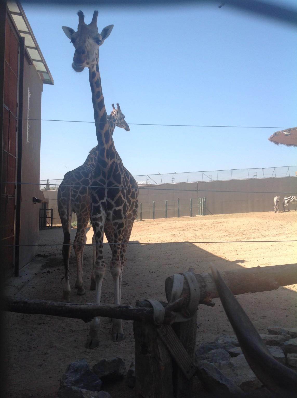 Zürafa